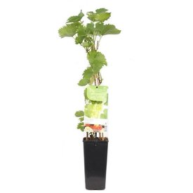 Fleur.nl - Vitis vinifera 'Phoenix'