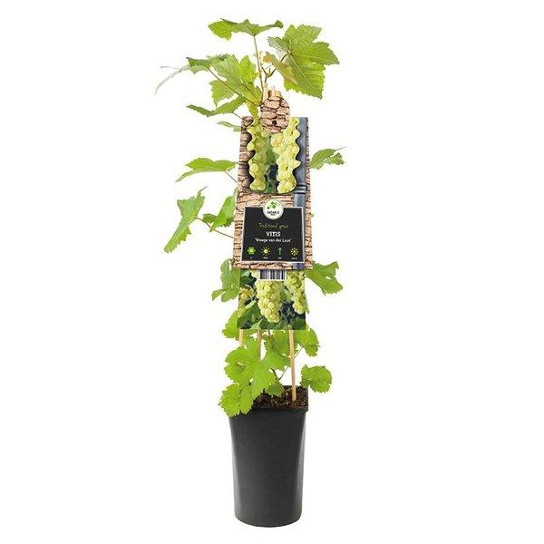 Vitis vinifera 'Vroege van der Laan' Witte druif