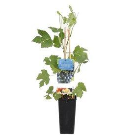Fleur.nl - Vitis vinifera 'Boskoop Glory'