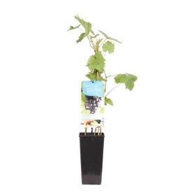 Fleur.nl - Vitis vinifera 'Frankenthaler'