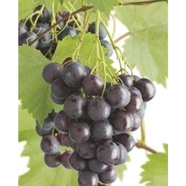 Vitis vinifera 'Frankenthaler' Blauwe druif