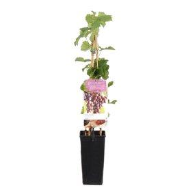 Fleur.nl - Vitis vinifera 'Regent'