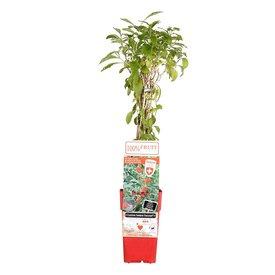 Fleur.nl - Lycium barbarum 'Instant Succes' Gojibes