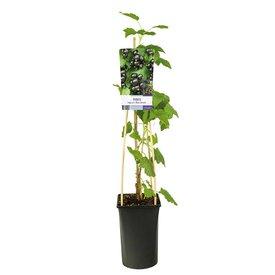 Fleur.nl - Ribes nigrum zwarte bes