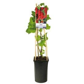 Fleur.nl - Ribes rubrum 'Jonkheer Van Tets' rode bes