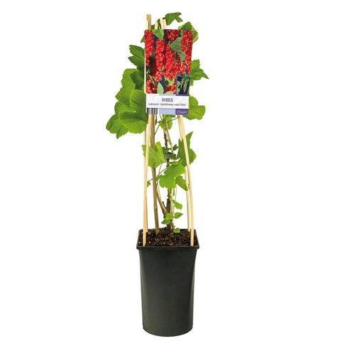 Ribes rubrum 'Jonkheer Van Tets' rode bes