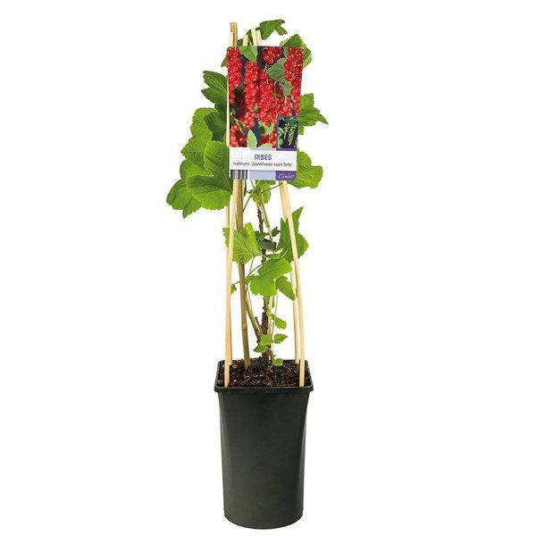 Ribes rubrum 'Jonkheer Van Tets' Rode Aalbes