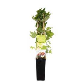 Fleur.nl - Ribes rubrum 'Witte Bes'