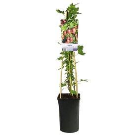 Fleur.nl - Ribes uva-crispa 'Hinnonmaki Rod'