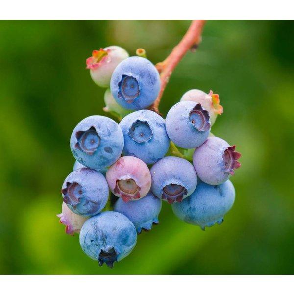 Vaccinium corymbosum 'Bluecrop' Blauwe Bes