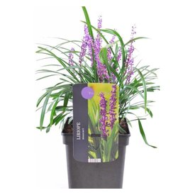 Fleur.nl - Liriope muscari 'Royal Purple'