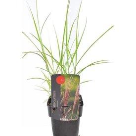 Fleur.nl - Miscanthus sinensis 'Ferner Osten'