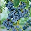 Vaccinium corymbosum 'Goldtraube' Blauwe Bes