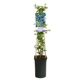 Fleur.nl - Vaccinium corymbosum 'Goldtraube' Blauwe Bes