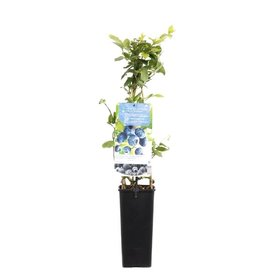 Fleur.nl - Vaccinium corymbosum 'Jersey'