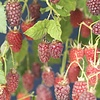 Rubus 'Tayberry' Frambraam