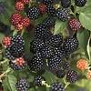 Rubus fruticosus 'Black Satin' Braam