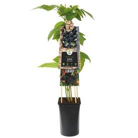 Fleur.nl - Rubus fruticosus 'Black Satin'