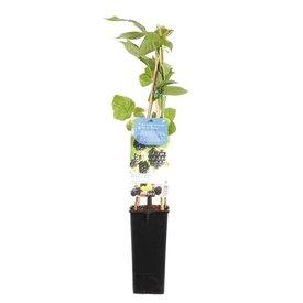 Fleur.nl - Rubus fruticosus 'Chester Thornless' Zwarte braam