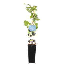 Fleur.nl - Rubus fruticosus 'Thornless' Zwarte braam