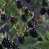 Rubus fruticosus 'Thornless Evergreen' Braam