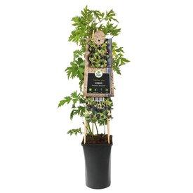 Fleur.nl - Rubus fruticosus 'Thornless Evergreen'