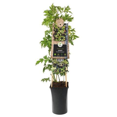 Rubus fruticosus 'Thornless Evergreen' zwarte braam