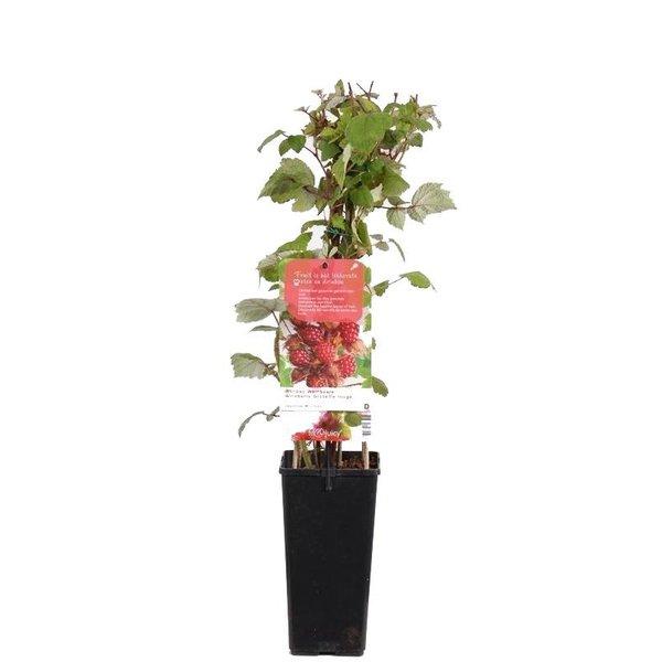 Rubus phoenicolasius Japanse Wijnbes