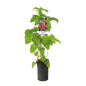 Fleur.nl - Rubus 'Loganberry'