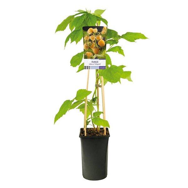Rubus idaeus 'Fallgold' Gele Framboos