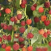 Rubus idaeus 'Autumn Bliss' Herfstframboos