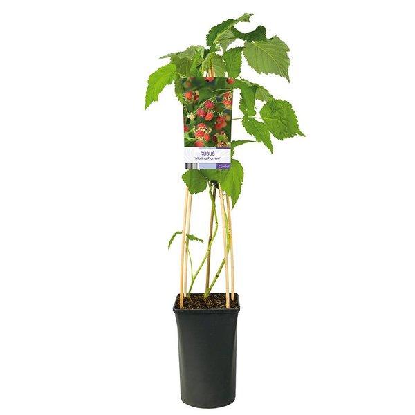 Rubus idaeus 'Malling Promise' Zomerframboos