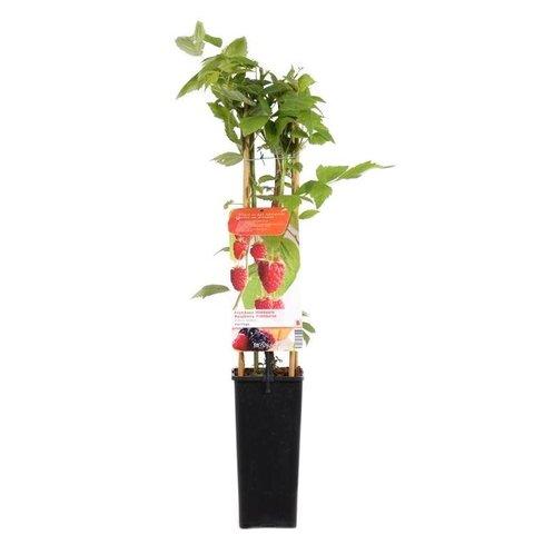 Rubus idaeus Framboos rood