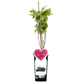 Fleur.nl - Rubus occidentalis 'Black Jewel'