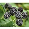 Rubus occidentalis 'Black Jewel' Zwarte Framboos