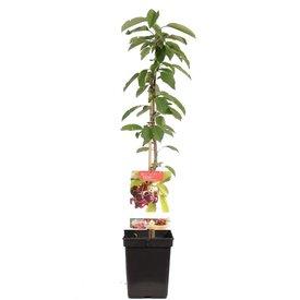 Fleur.nl - Prunus avium Zuilkers