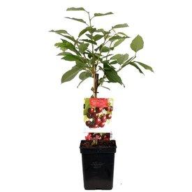 Fleur.nl - Prunus avium 'Kordia' - patio