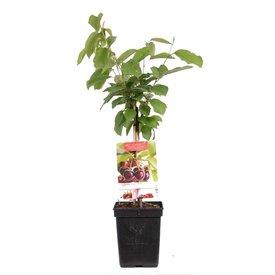 Fleur.nl - Prunus avium 'Regina' - patio