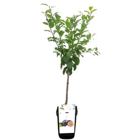 Fleur.nl - Prunus domestica 'Hauszwetsche' - patio