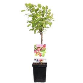 Fleur.nl - Prunus domestica 'Opal' - patio