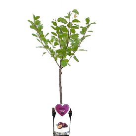 Fleur.nl - Prunus domestica 'Reine Claude Verte' - patio