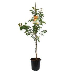 Fleur.nl - Prunus armeniaca 'Bergeron' laagstam