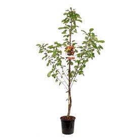 Fleur.nl - Prunus avium 'Lapins' - laagstam