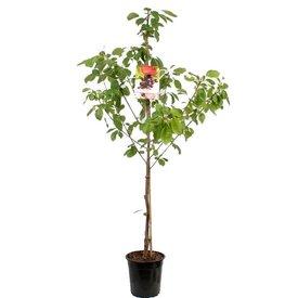 Fleur.nl - Prunus avium 'Mierlose Zwarte' - laagstam