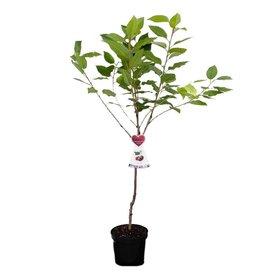 Fleur.nl - Prunus avium 'Morellenfeuer' - laagstam