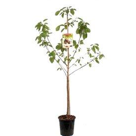 Fleur.nl - Prunus avium 'Sam' - laagstam