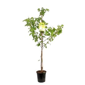 Fleur.nl - Prunus avium 'Udense Spaanse' - laagstam