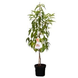 Fleur.nl - Prunus persica 'Suncrest' - laagstam