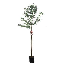 Fleur.nl - Prunus avium 'Lapins' - hoogstam