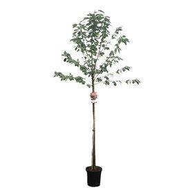 Fleur.nl - Prunus avium 'Mierlose Zwarte' - hoogstam